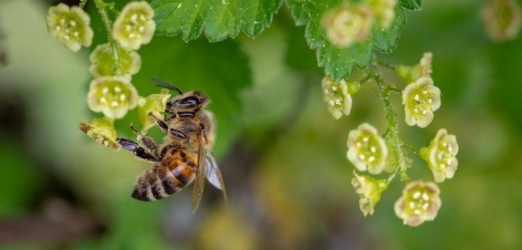 ape-polline